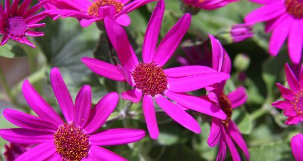 Aschenblume
