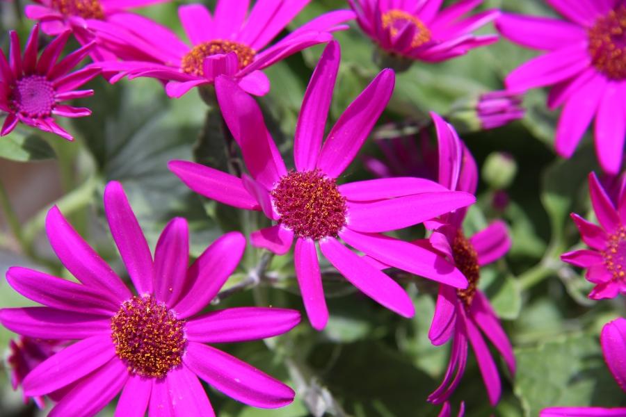 Photo of Aschenblume Garten-Zinerarien