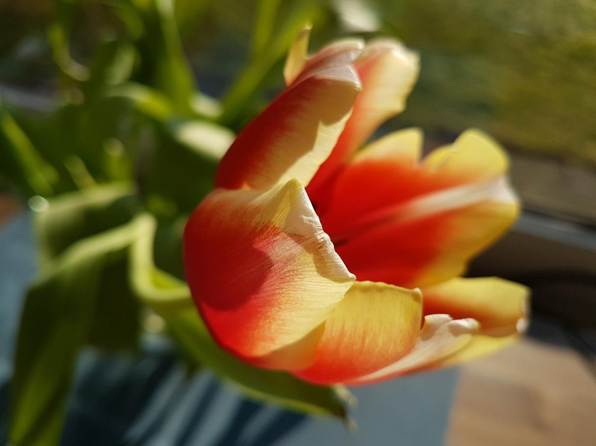 Rot-gelb Tulpen