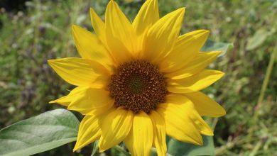 Sonnenblume gelb
