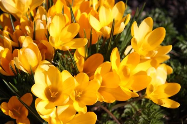 Photo of Gelbe Krokusse