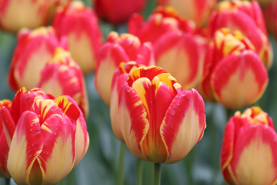 Photo of Rot gelbe Tulpen