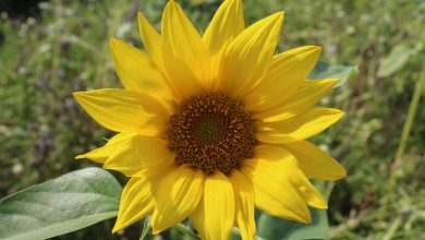 Photo of Sonnenblume