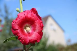 Stockrose rot